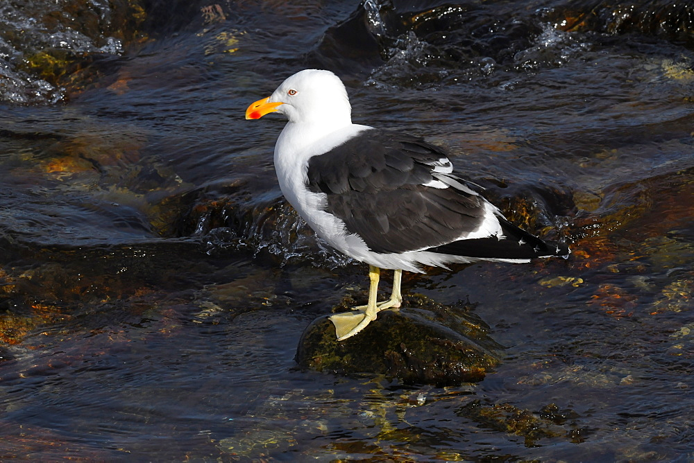 Kelp gull (Larus dominicanus) standing on a stone surrounded by water, Falkland Islands, South America