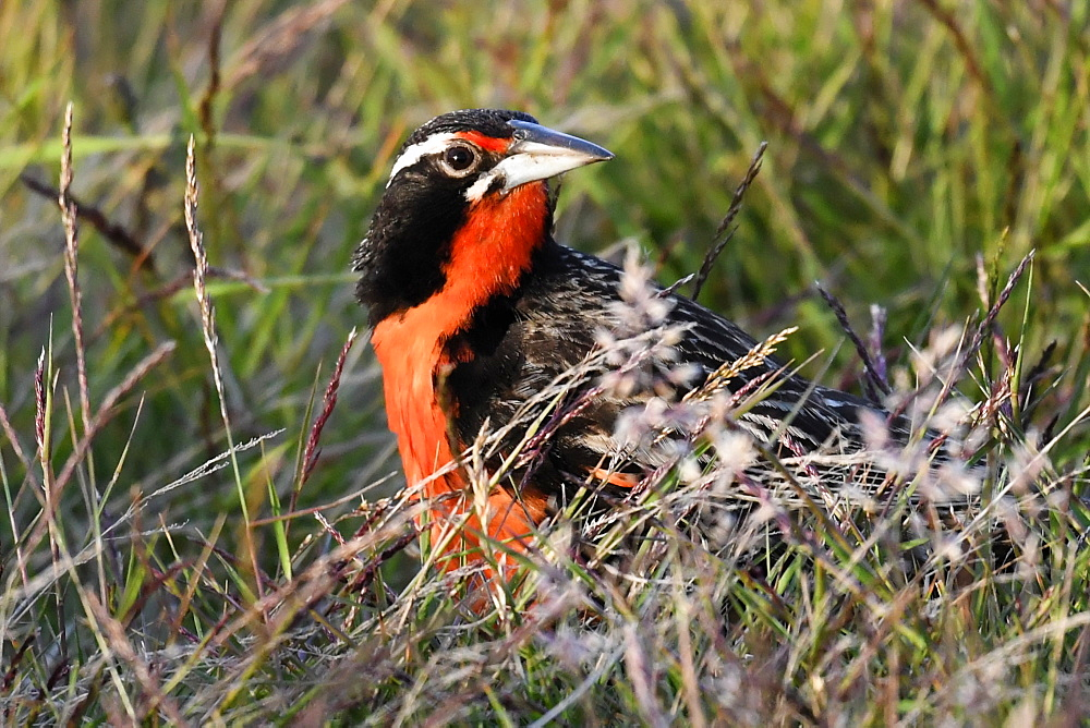 Long-tailed meadowlark (Leistes loyca) in its grassland habitat, Falkland Islands - 971-158