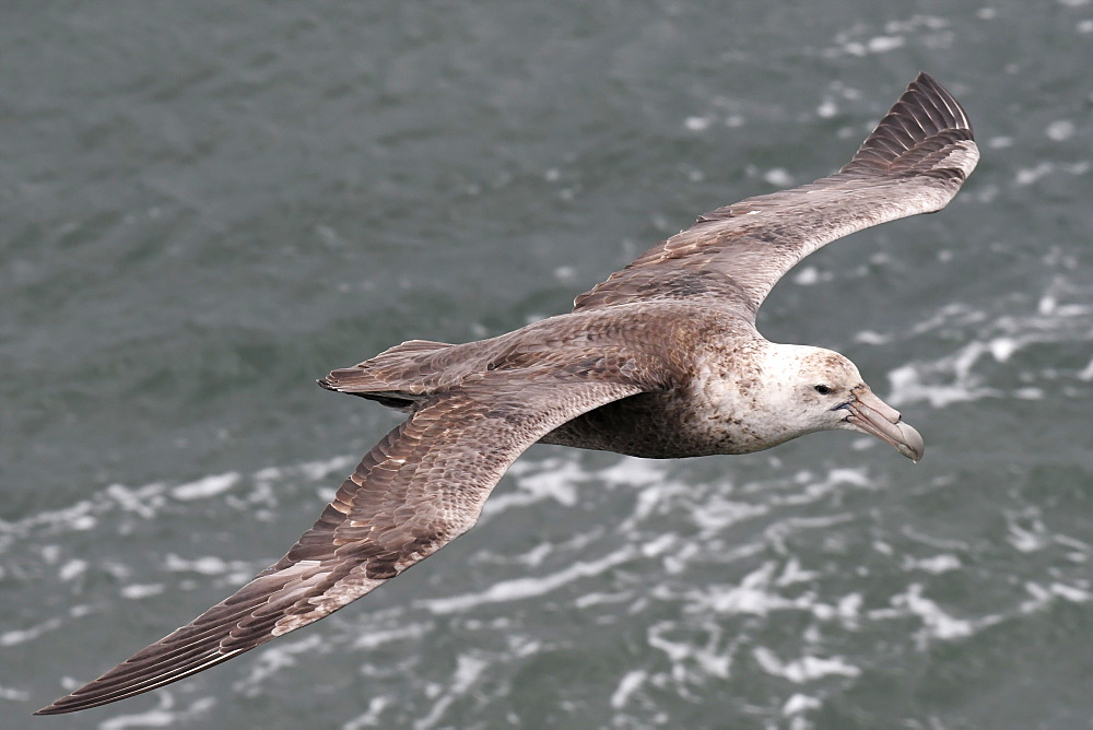 Southern giant petrel (Macronectes giganteus) flying low over the sea at Port William, Falkland Islands - 971-159