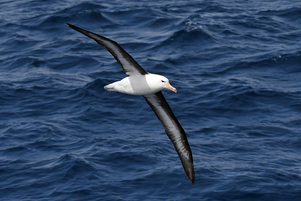 Black-browed albatross (Thalassarche melanophris) in flight low over the sea, showing full span of under wing, South Georgia, Polar Regions
