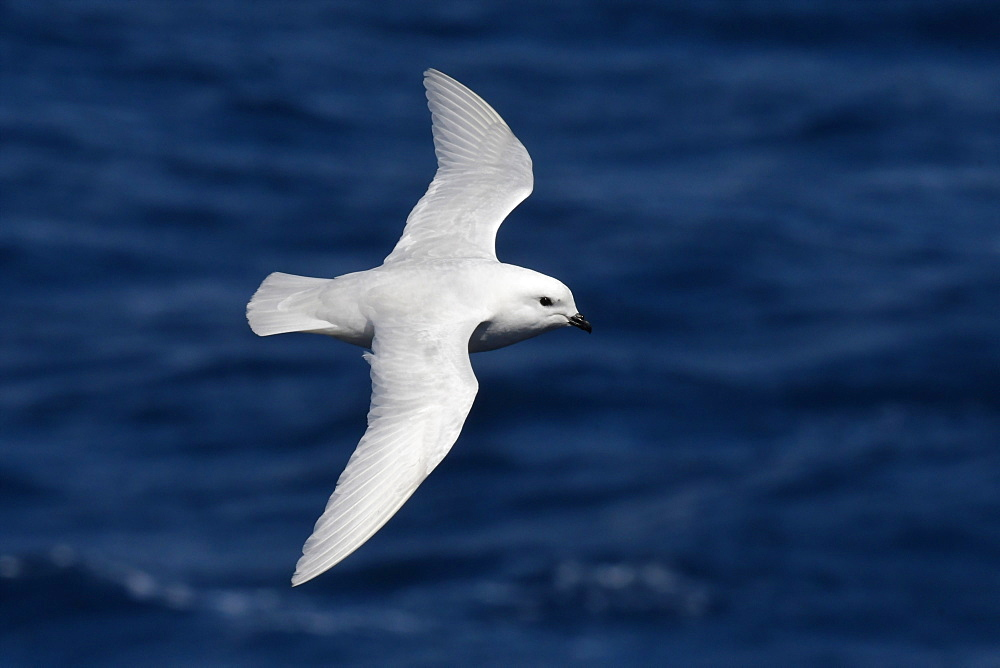 Snow petrel (Pagodroma nivea) in flight against a dark blue sea, South Georgia and South Sandwich Islands, Polar Regions