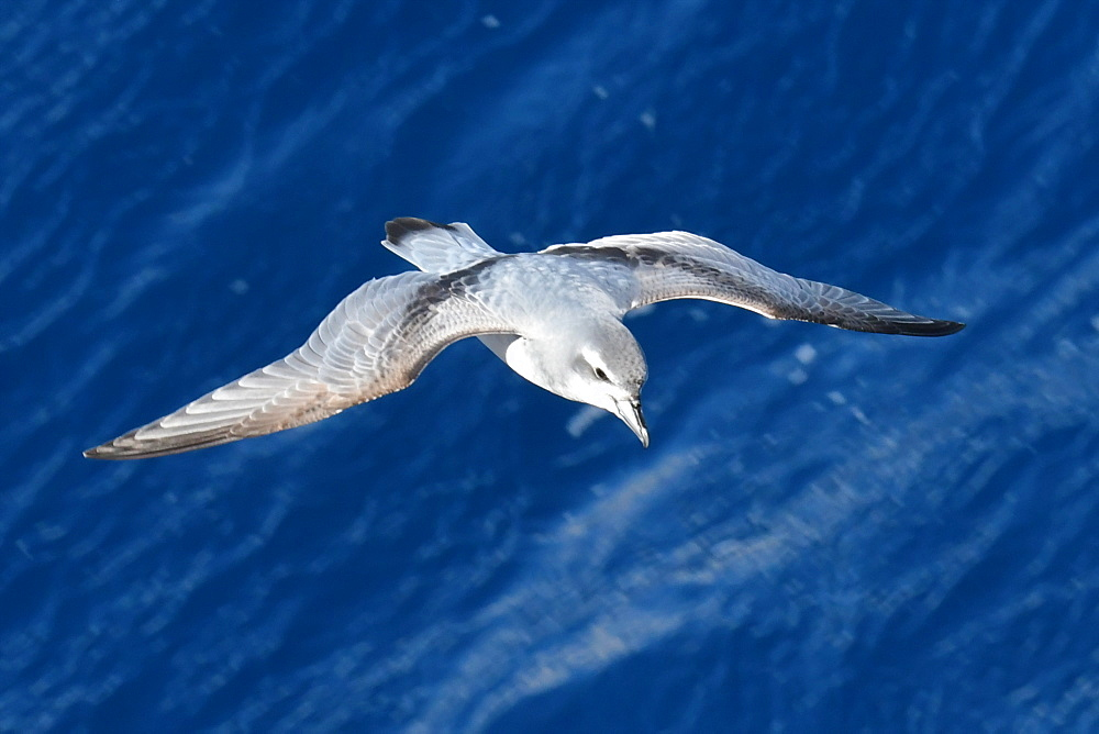 Antarctic prion (Pachyptila desolata) in flight against a dark blue sea, South Georgia and South Sandwich Islands, Polar Regions