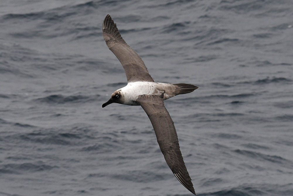Light-mantled albatross (Phoebetria palpebrata) in flight, gliding over the sea surface, South Sandwich Islands, Polar Regions