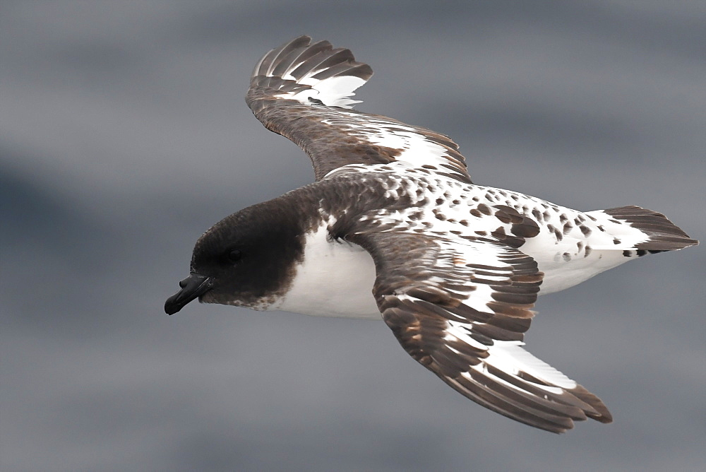 Close-up of a flying Cape petrel (Daption capense), South Georgia and the South Sandwich Islands, Polar Regions