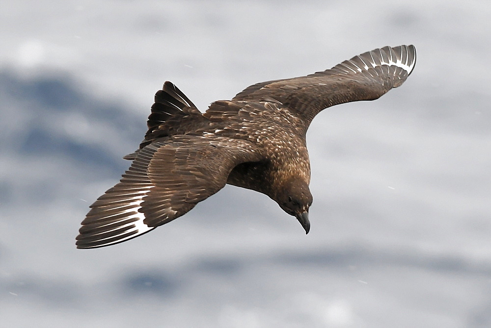 Brown skua (Stercorarius antarcticus) in flight, Southern Ocean - 971-176