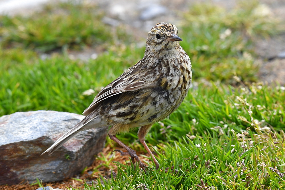The endemic South Georgia pipit (Anthus antarcticus) is the island's only passerine, King Edward Point, South Georgia - 971-185