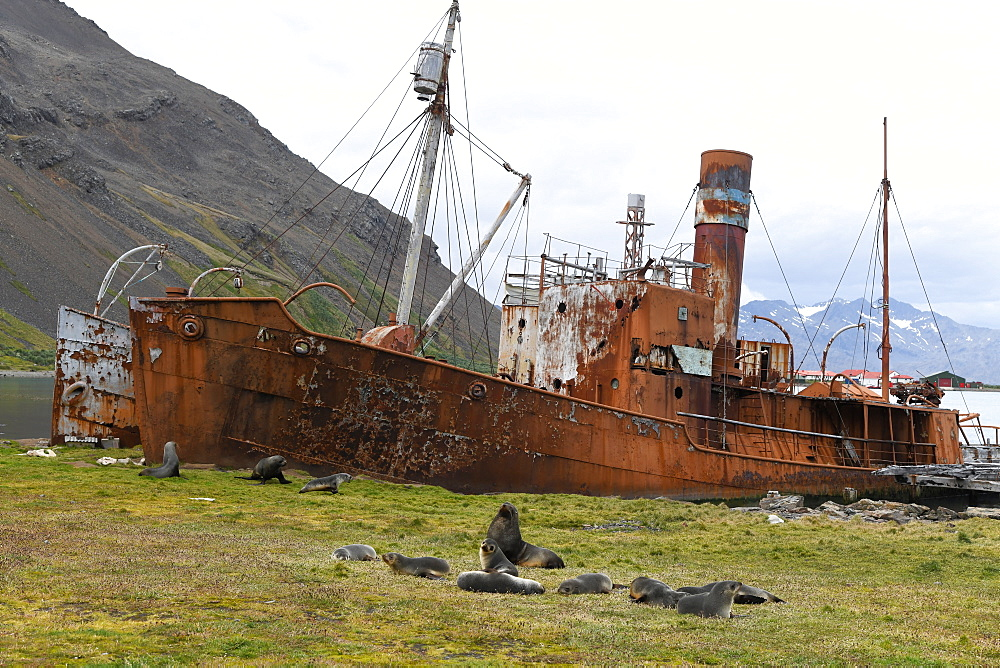 Group of Antarctic fur seals (Arctocephalus gazella) resting in front of abandoned whaling ships, Grytviken, South Georgia, Polar Regions