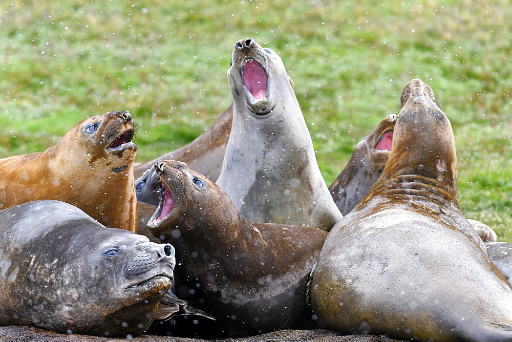 Agonistic behaviour in a tight group of moulting southern elephant seals (Mirounga leonina), Grytviken, South Georgia - 971-193