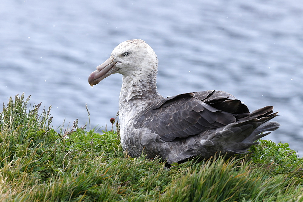 Northern giant petrel (Macronectes halli) resting in grassland above the sea, Grytviken, South Georgia, Polar Regions
