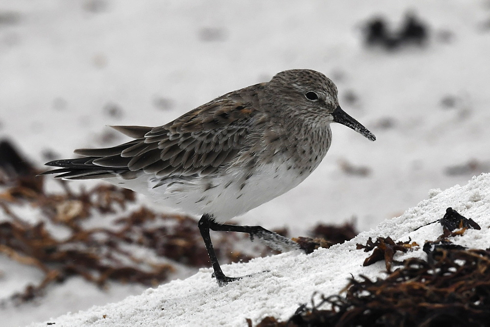 White-rumped sandpiper (Calidris fuscicollis), a long-distance migrant, foraging in sandy dune, Falkland Islands - 971-199