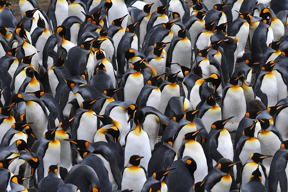 Densely packed king penguin (Aptenodytes patagonicus) colony at Volunteer Point, Falkland Islands - 971-205
