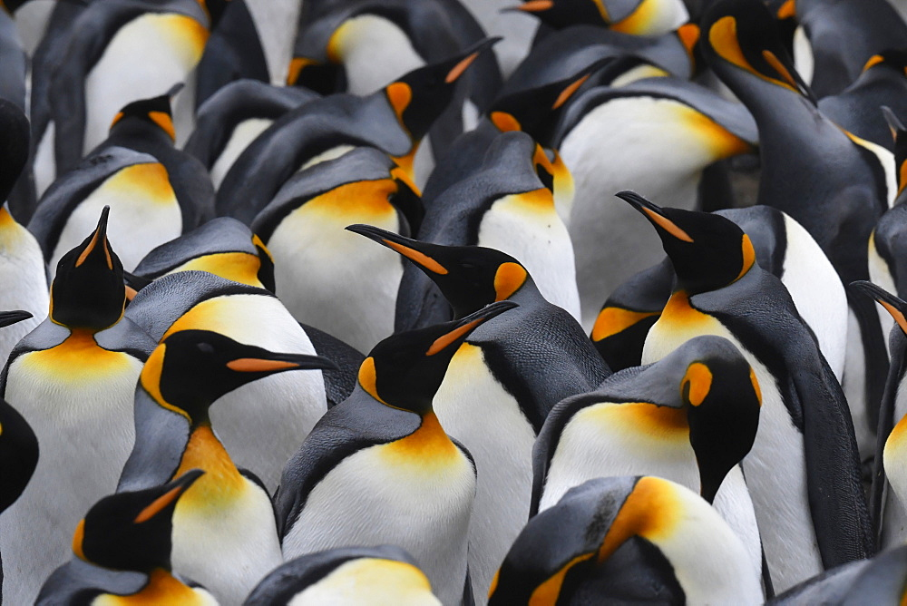 Close-up of a mass of king penguins (Aptenodytes patagonicus) in a tightly packed colony at Volunteer Point, Falkland Islands, South America