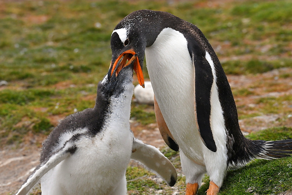 Gentoo penguin (Pygoscelis papua) feeding its chick, Volunteer Point, Falkland Islands, South America