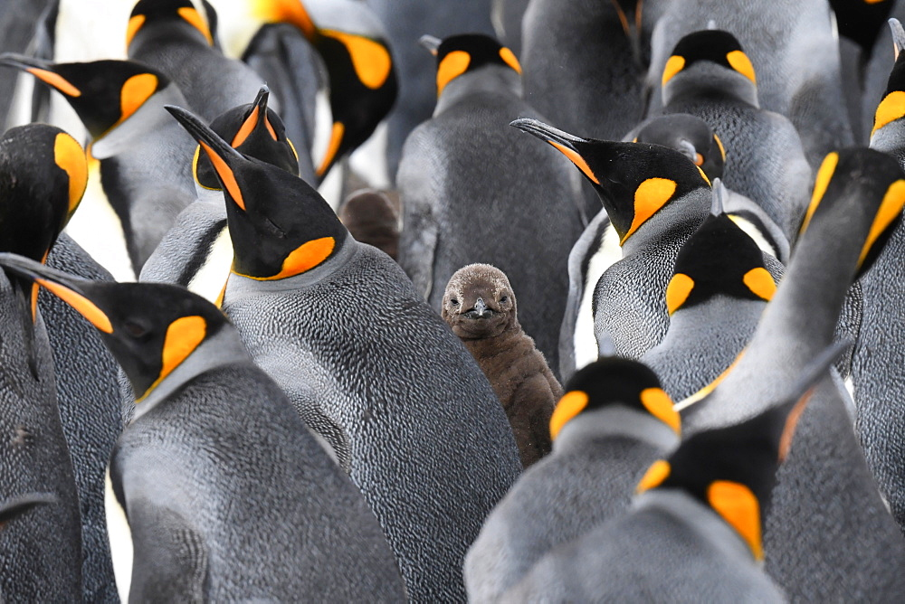 King penguin (Aptenodytes patagonicus) chick peering out between several adults, Volunteer Point, Falkland Islands - 971-210