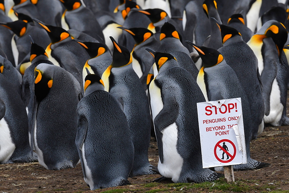 Warning sign to visitors delineating king penguin (Aptenodytes patagonicus) colony at Volunteer Point, Falkland Islands, South America
