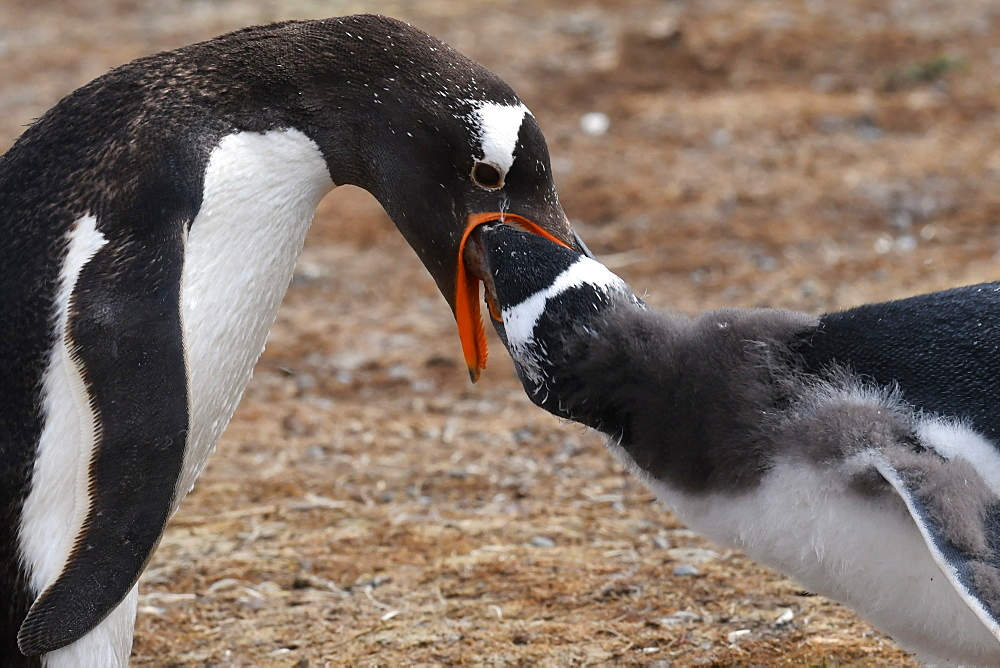Close-up of a gentoo penguin (Pygoscelis papua) feeding its chick, Volunteer Point, Falkland Islands, South America