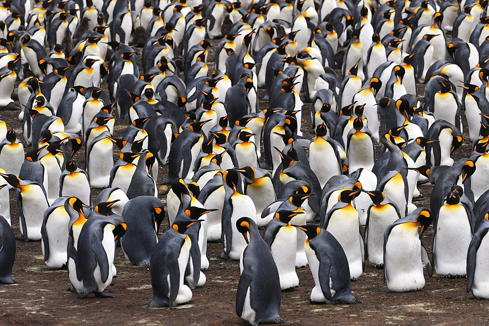 View from high viewpoint onto a dense king penguin (Aptenodytes patagonicus) colony at Volunteer Point, Falkland Islands, South America