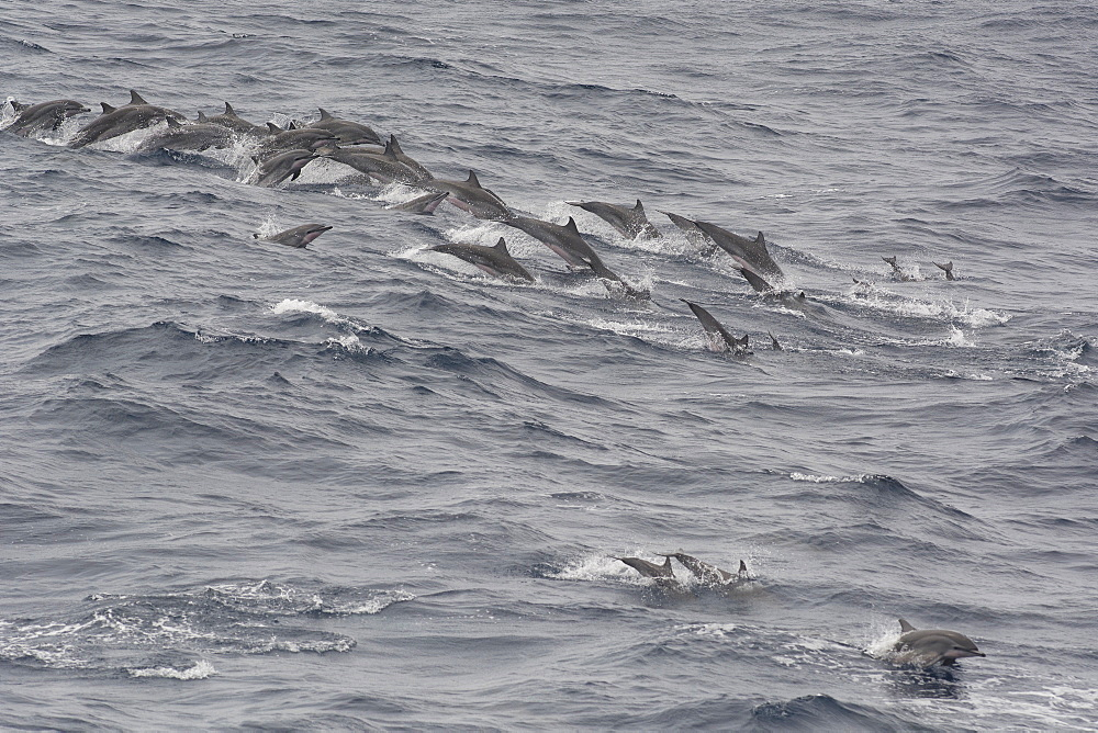 Pod of Clymene dolphins (Stenella clymene) porpoising offshore, Sao Tome, Sao Tome and Principe, Africa - 971-225