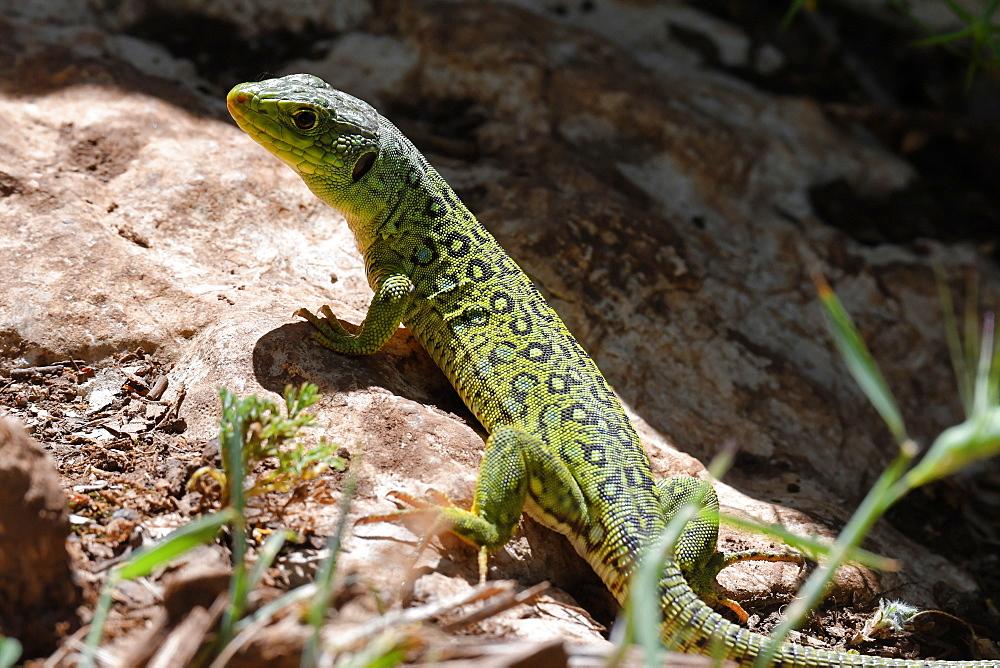 Ocellated lizard (Timon lepidus) in alert posture in El Torcal, Malaga, Andalucia, Spain, Europe - 971-237