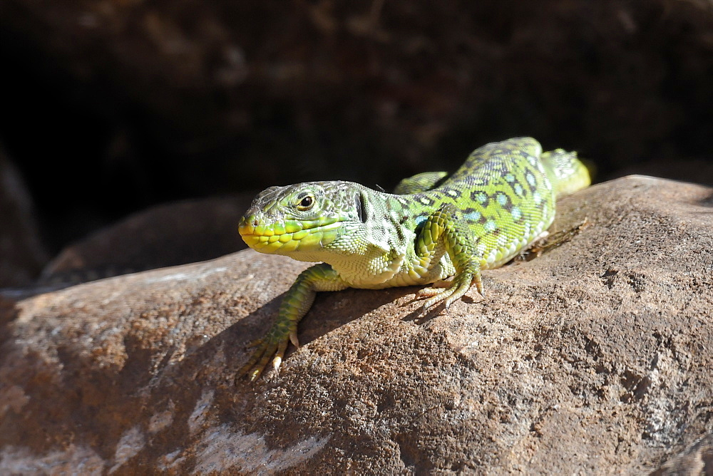 Ocellated lizard (Timon lepidus) basking on a stone near Tarifa, Andalucia, Spain, Europe - 971-238