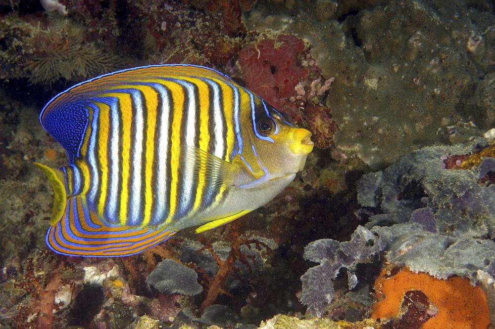 Royal Angelfish (Pygoplites diacanthus).  Borneo, Malaysia (A4 only). - 973-22