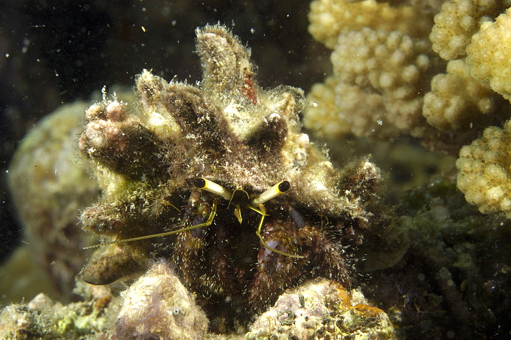 Hermit crab (Dardanus lagopodes).  Borneo, Malaysia (A4 only). - 973-36