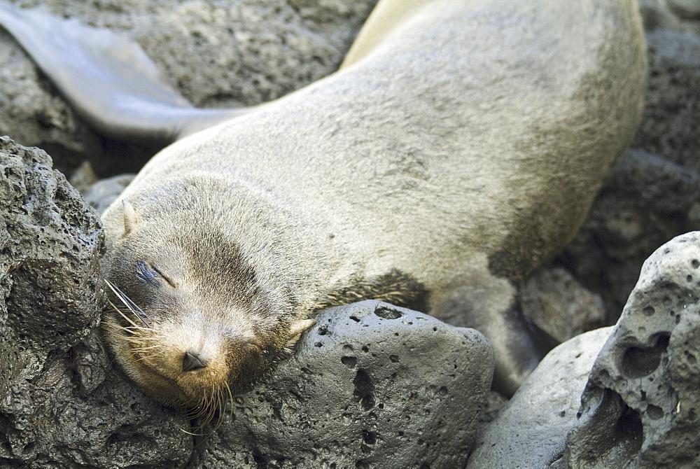 Galapagos Fur Seal (Arctocephalus galapagoensis). Galapagos.