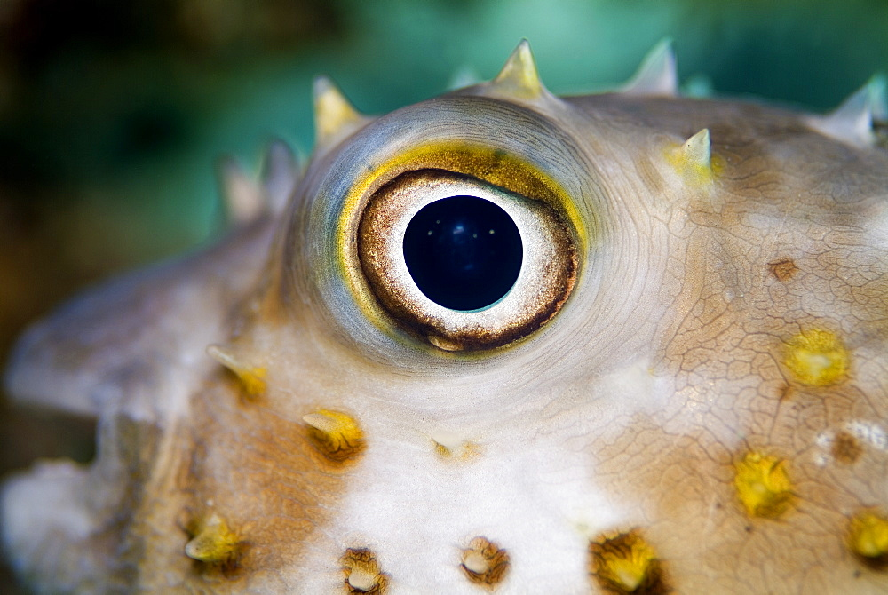 Close-up of Yellowspotted Burrfish (Cyclichthys spilostylus). Red Sea.