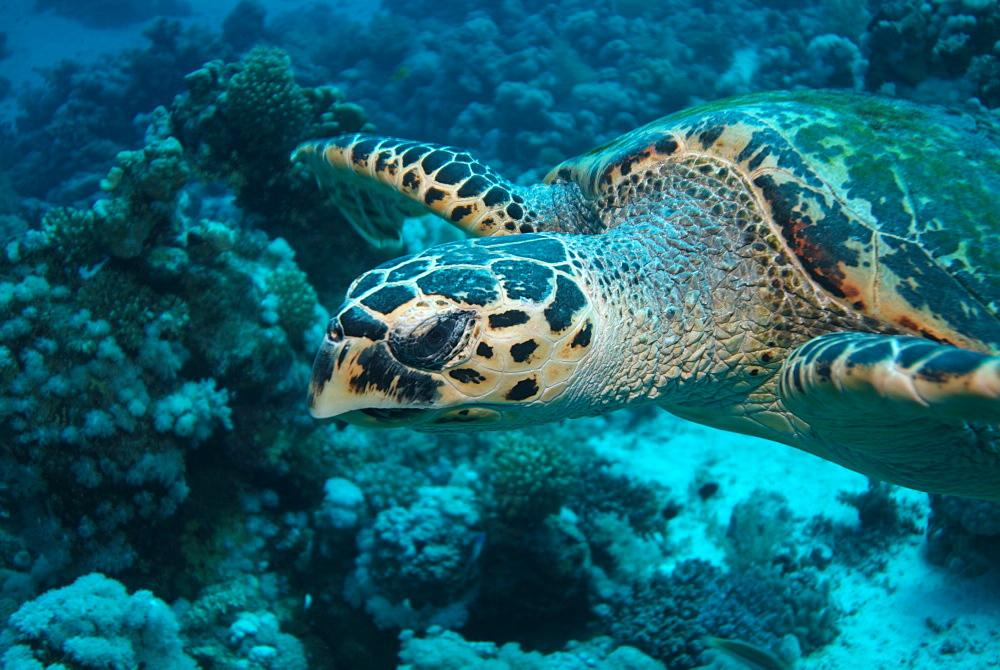 Hawksbill Sea Turtle (Eretmochelys imbricat). Red Sea.