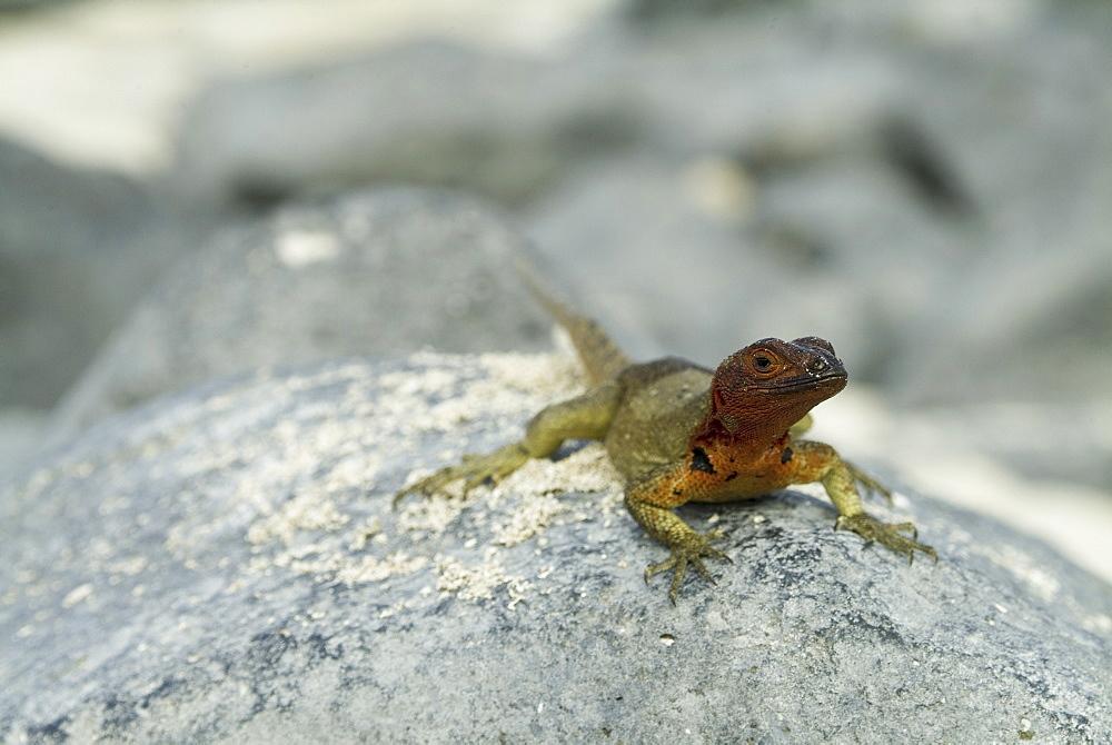 Galapagos lava lizard (Microlophus albemarlensis). Galapagos.