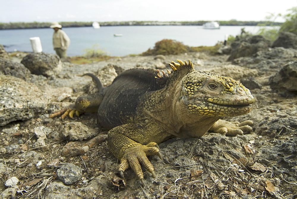 Gal?pagos Land Iguana (Conolophus subcristatus). Galapagos.