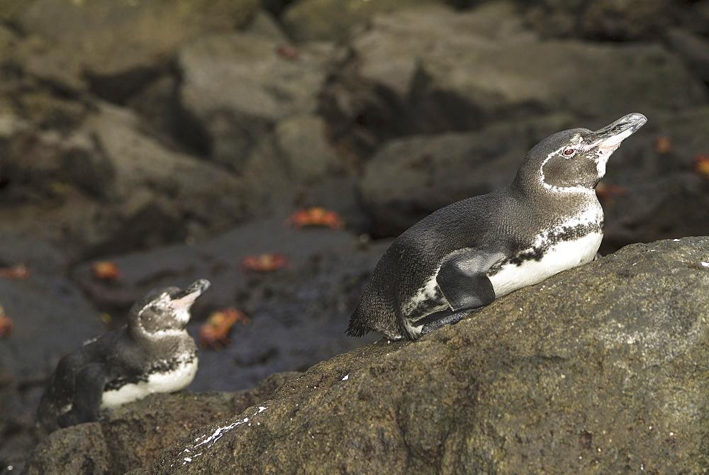 Galapagos penguin (Spheniscus mendiculus). Galapagos.