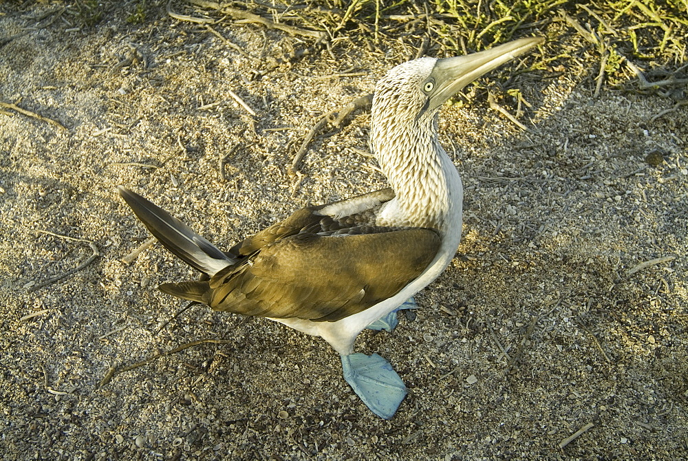 Blue-footed booby (Sula nebouxii). Galapagos.
