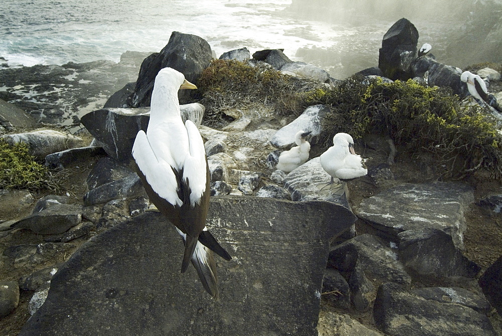 Nazca boobies at espanola blowhole. Galapagos.