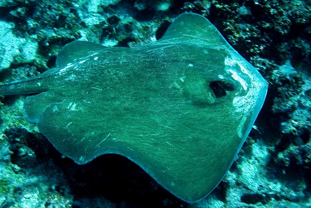Diamond Stingray - Dasyatis brevis.  Galapagos, Pacific Ocean