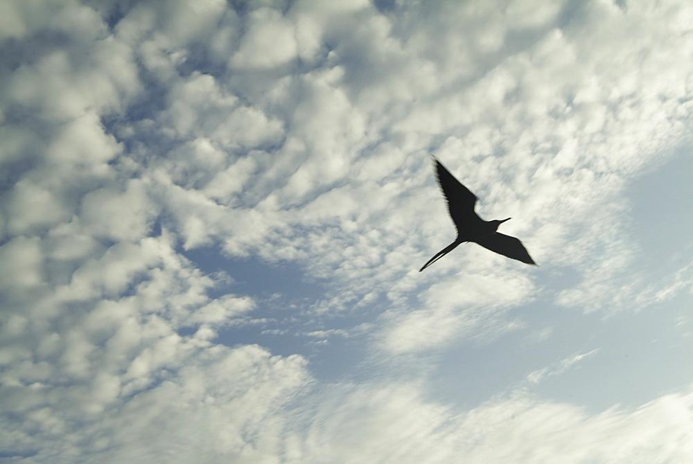 Magnificent frigatebirds (Fregata magnificens). Galapagos.