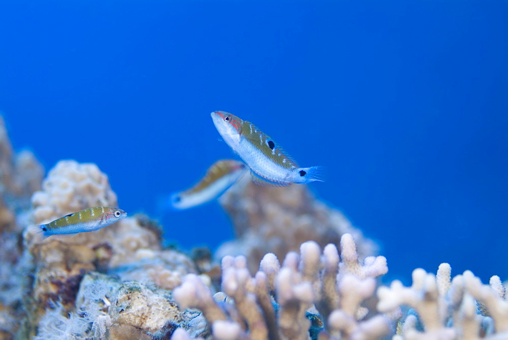 Reef fish over hard corals, Red Sea.