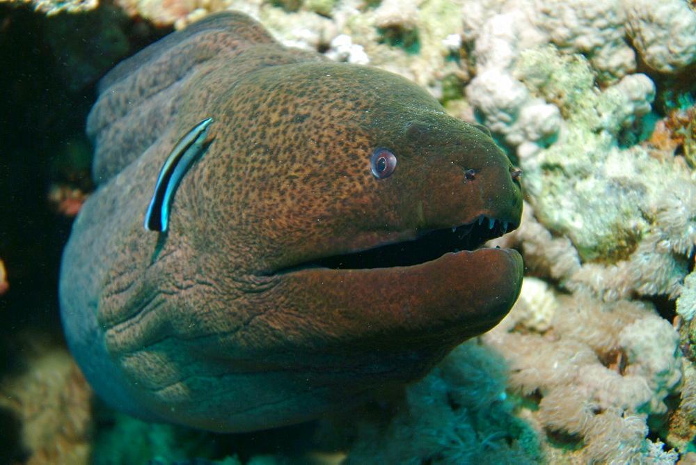 Giant Moray (Gymnothorax javanicus). Red Sea.