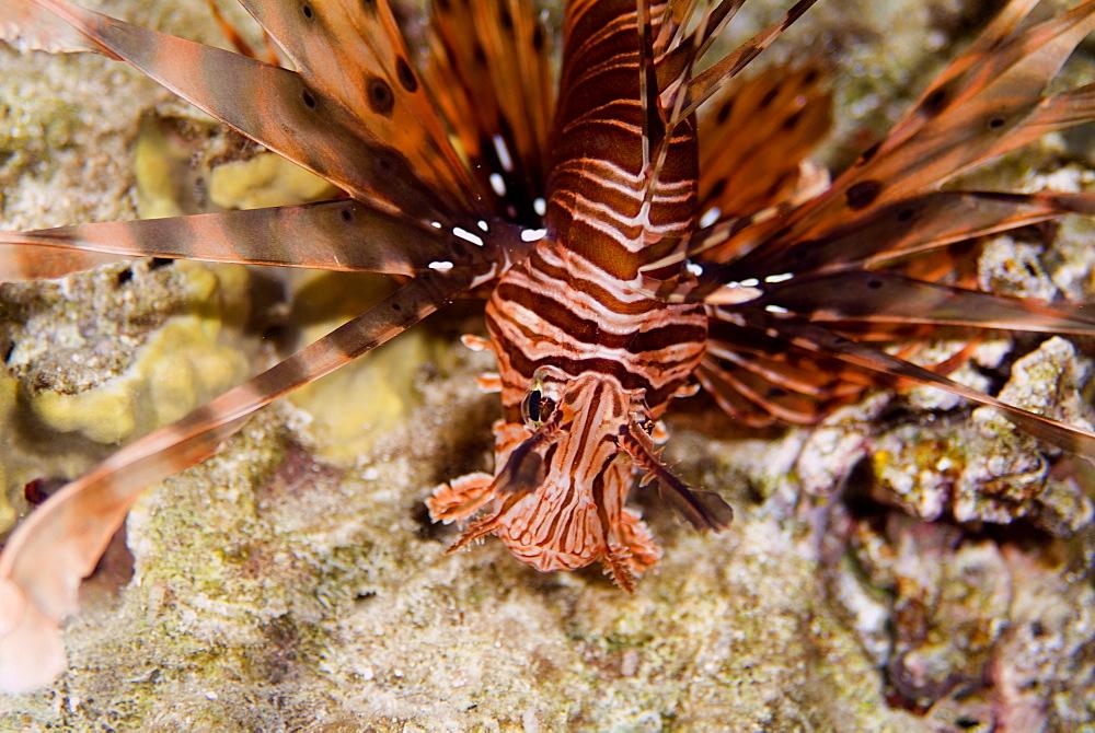 Common Lionfish (Pterois volitans). Red Sea.