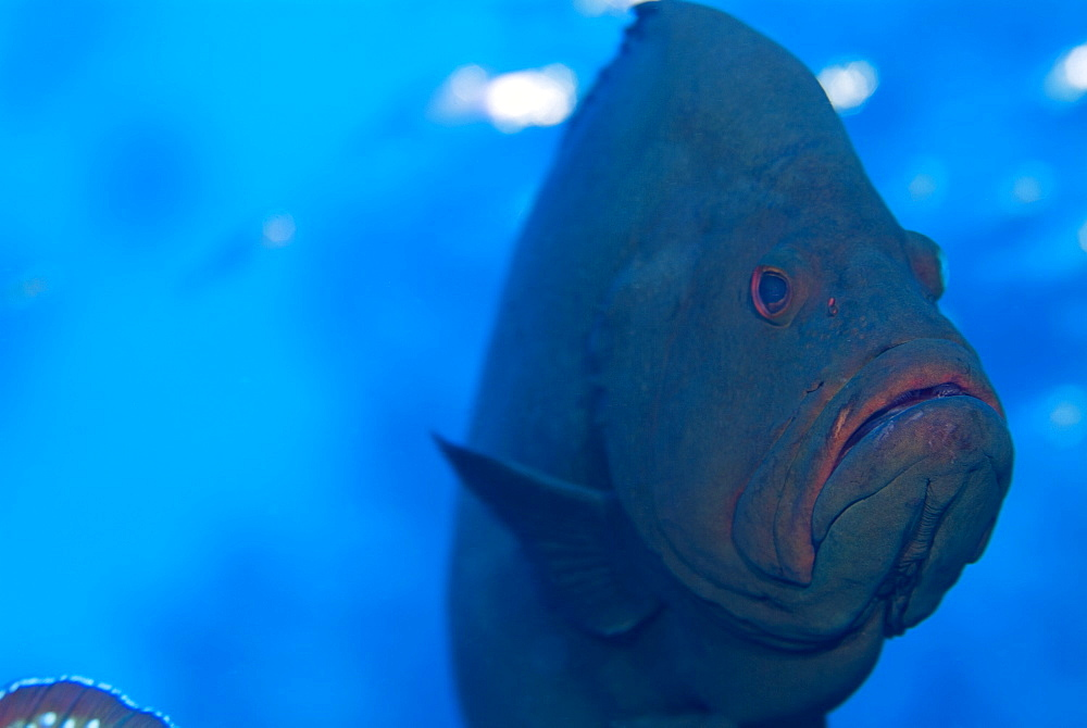 Redmouth Grouper (Aethaloperca rogaa). So named because of its bright red inside mouth.Red Sea. - 978-58