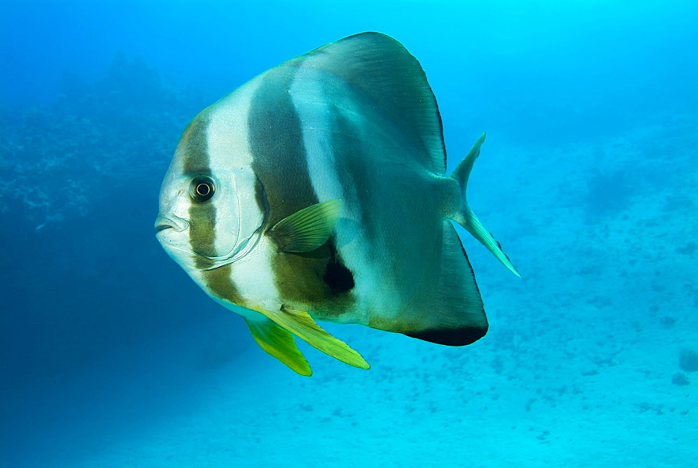 Circular Batfish (Platax orbicularis). Red Sea.