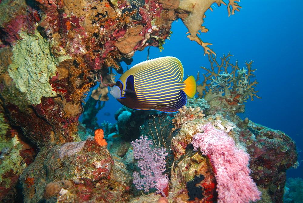 Emperor Angelfish. Red Sea.