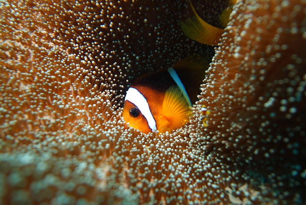 Red Sea Anenomefish (Amphiprion bicinctus). Red Sea.