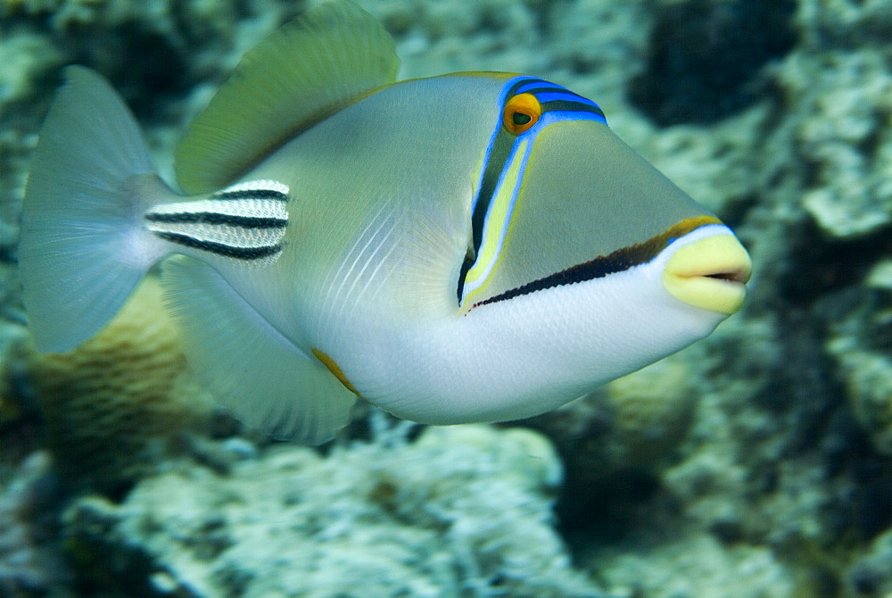 Picasso Triggerfish (Rhinecanthus assasi). Red Sea. - 978-97
