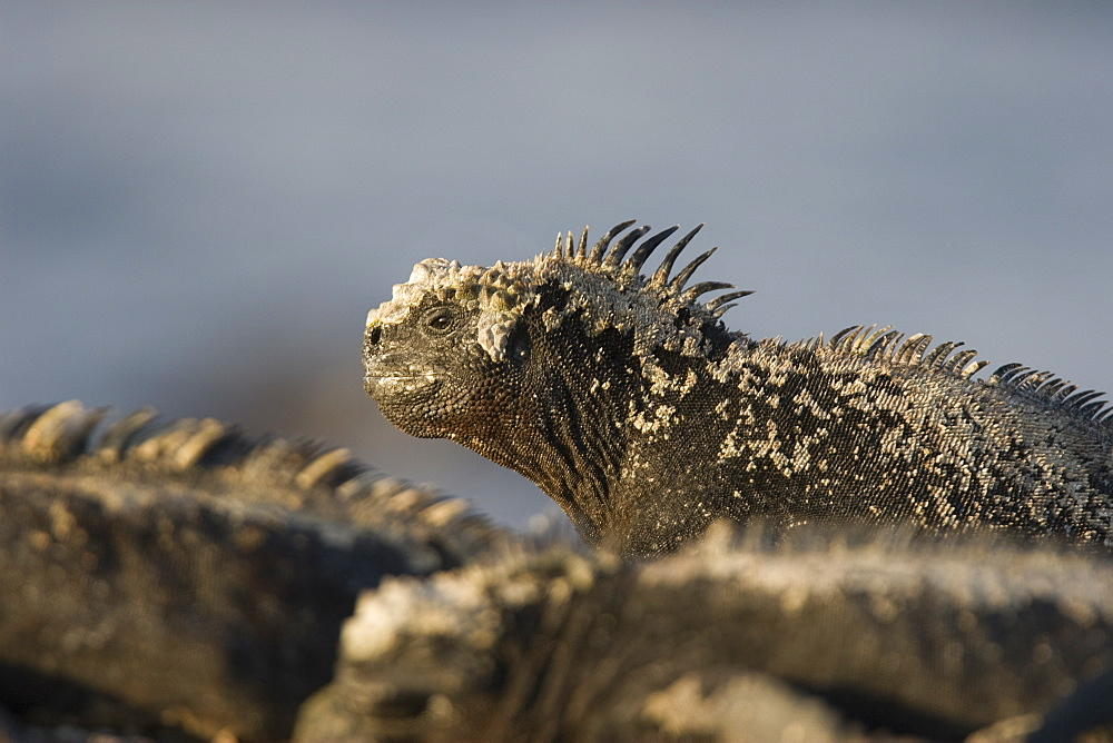 The endemic marine iguana (Amblyrhynchus cristatus) in the Galapagos Island Group, Ecuador. This is the only marine iguana in the world, with many of the main islands having it's own subspecies. Pacific Ocean.