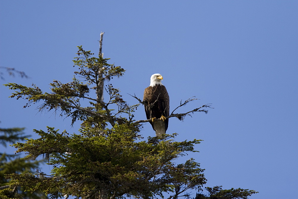 Adult bald eagle (Haliaeetus leucocephalus) in Sitka spruce tree in Pavlov Harbor on Chichagof Island, Southeast Alaska, USA. Pacific Ocean.