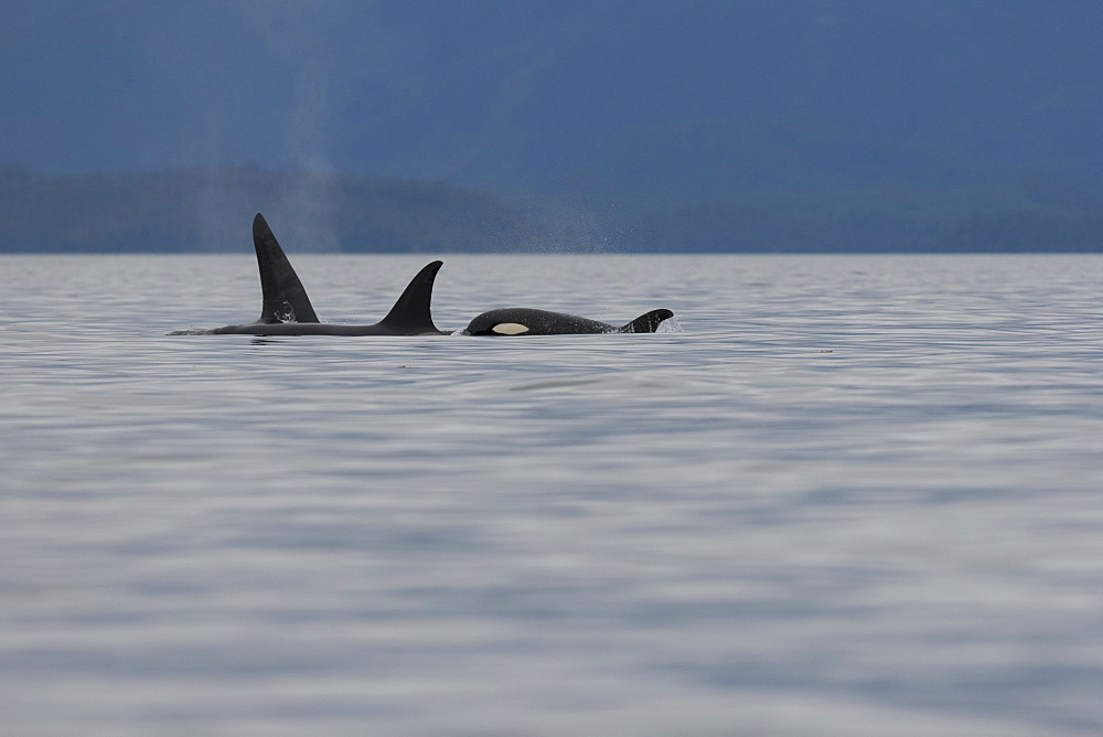 A pod of 6 Orcas (Orcinus orca) encountered off Sail Island and followed until McDonald Rocks in Frederick Sound, Southeast Alaska