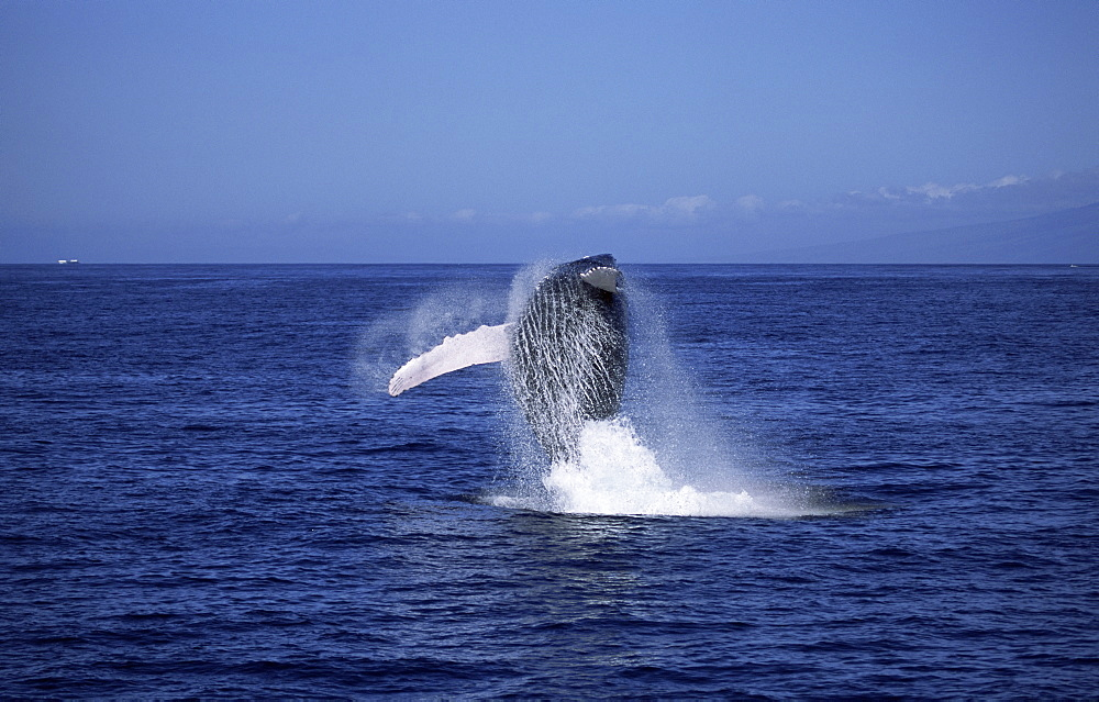 Humpback whale (Megaptera novaeangliae) breaching with long white pectoral fins visible. Hawaii, USA. - 985-13