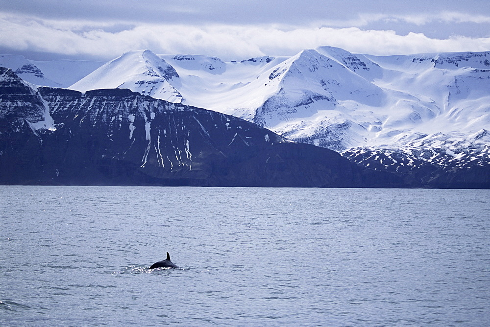 Minke whale (Balaenoptera acutorostrata) surfacing in fjord with snow capped mountains behind. Husavik, Iceland. - 985-20