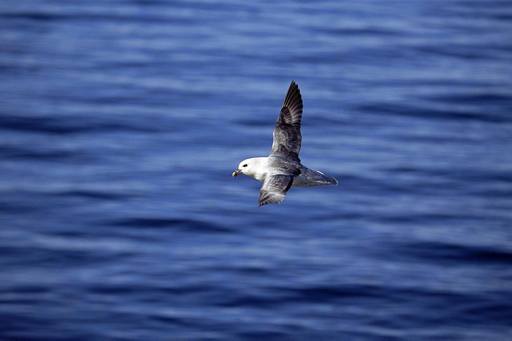 Fulmar (Fulmar glacialis) soaring characteristically over the sea. Iceland - 985-35